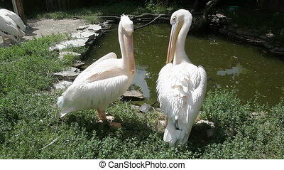 Pelican cleans feathers