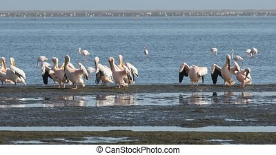 colony of Pink-backed pelican and rosy flamingo in Walvis bay, Namibia Africa safari wildlife