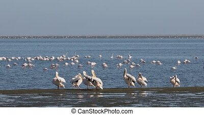 Pink-backed pelican and rosy flamingo colony in Walvis bay, Namibia Africa safari wildlife
