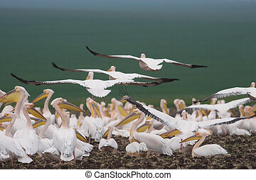 Pelican colony on a field close to the shore of Black Sea in...