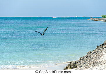 Pelican flying over the Beach in Aruba Island