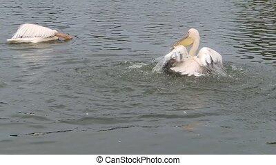Pelican getting wet - A pelican getting wet