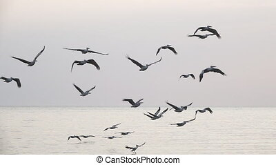 Pelican group flying in slow motion at dusk - Slow motion of...