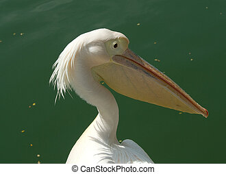 pelican in china