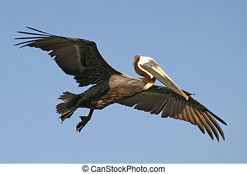 Pelican In Flight - A close shot of a pelican in flight ...