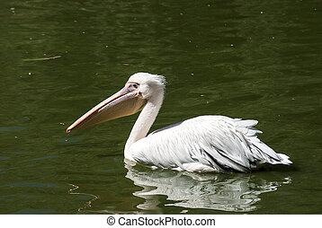 Pelican in lake water full profile