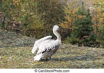 Pelican in the zoo