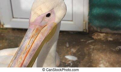 Pelican looking around