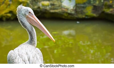 Pelican looking at you - Video 1920x1080 - Pelican looking...