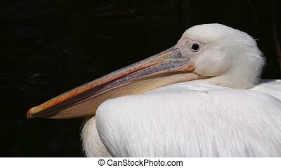 Pelican on a black background