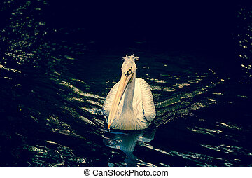 Pelican on a river