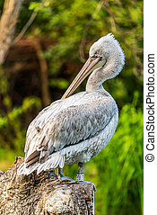 Pelican on a rock - White pelican in captivity in ...
