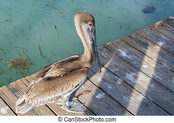 Pelican on a wooden deck