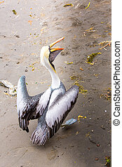 Pelican on Ballestas Islands, Peru South America in Paracas National park. Flora and fauna