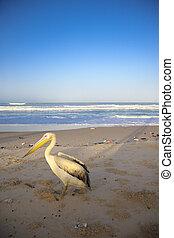 Pelican on empty beach in Saint Louis - Pelican standing on...