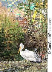 Pelican on grass