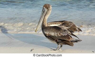 Pelican on the beach. Tulum, Mexico.