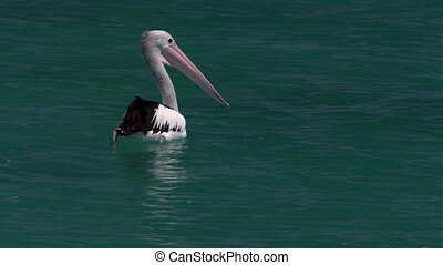 Pelican on the ocean - A close up shot of a pelican on the...