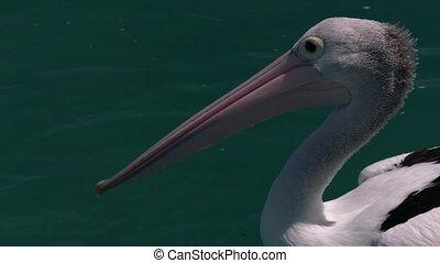 Pelican on the ocean
