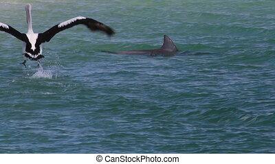 Pelican on the ocean shot - A medium shot of a pelican on...