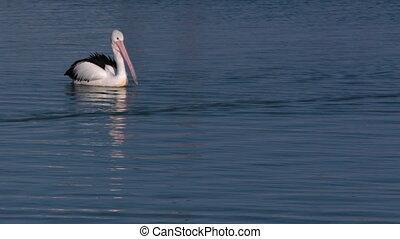 Pelican on the ocean shot - A medium shot of and a pelican...
