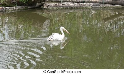Pelican on water (Pelecanus rufescens). Water birds.