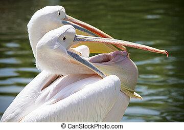 Pelican openning his peak