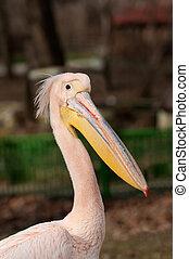Pelican, Pelecanus onocrotalus