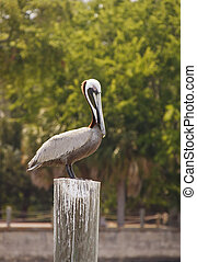 Pelican Perched on Post - A single pelican perched on a post...