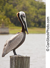 Pelican Perched on Post in Wetlands