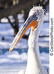 Pelican Portrait At A Local Zoo