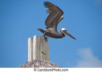 Pelican ready for takeoff off a post, in the BVI islands