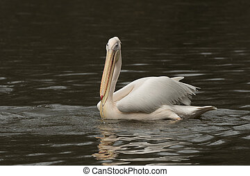 pelican reflected in the water of a river
