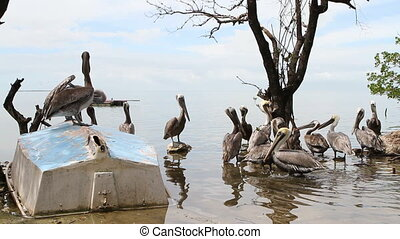 Pelican Sanctuary - Flock of pelicans wade in the shallows...