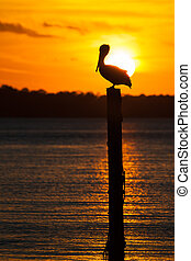 Pelican Silhouette at Sunset