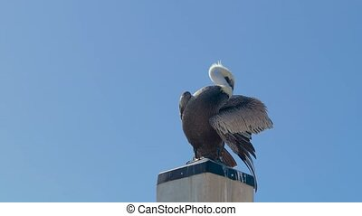 Pelican sits on a concrete pillar against a clear blue sky without clouds, Closeup, Copy Space. Brown pelican sits and scratches on a concrete ocean barrier. Wet Pelican cleans feathers in wings. 4K
