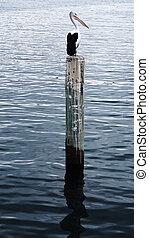 Pelican sits on a pylon post