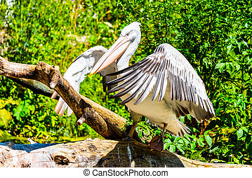 Pelican sitting on the branch with spread wings
