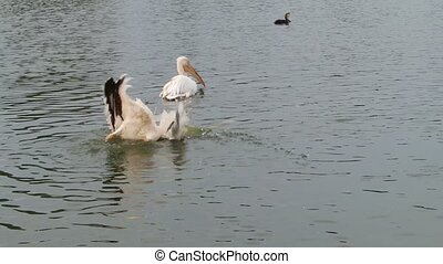 Pelican splashing water  - A pelican splashing water