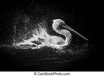Pelican Splashing Water Black and White Photo