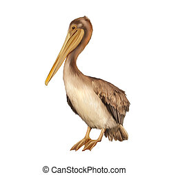 pelican standing proud on a white background. Vector illustration of Brown Pelican