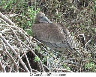 Pelican on the Galapagos Island