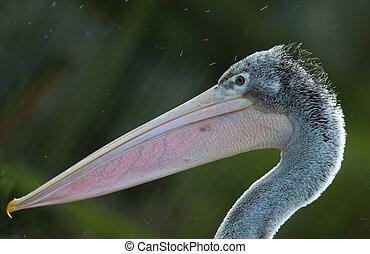 pelican  - close-up of a beautiful pelican