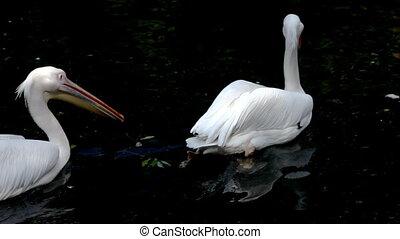 Pelican swim in lake zoo