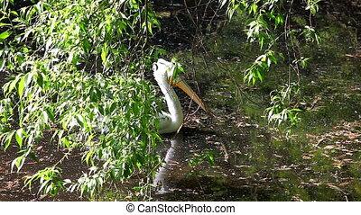 Pelican swim in lake