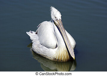 Pelican swimming in lake and looking for fish.