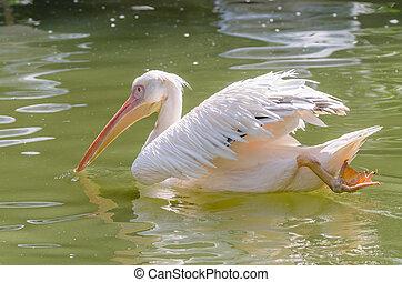 Pelican Swimming On Lake