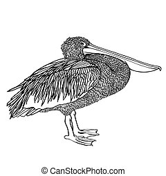 Pelican Vector Sketch
