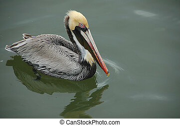 Pelican wading on the river