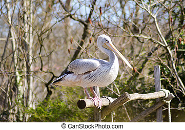 Pelican who makes his toilet on a wooden